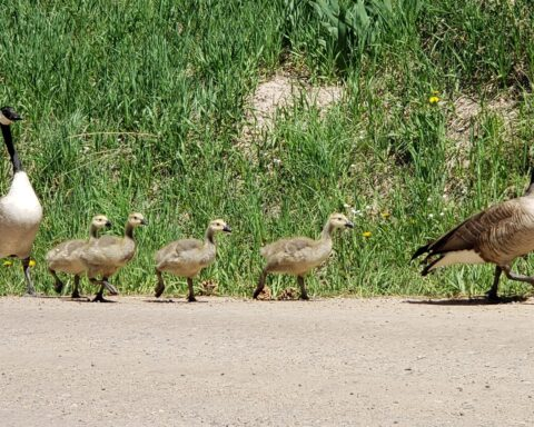 geese walking-by TB