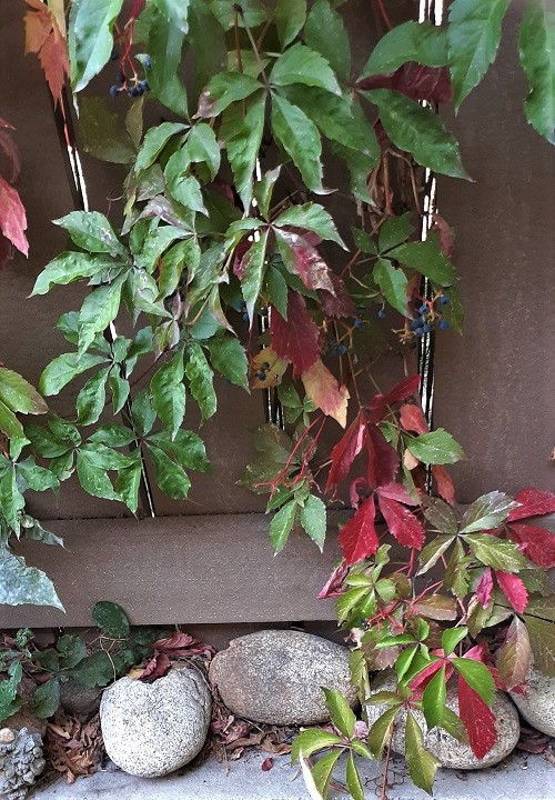 red ivy in the fall, L-LeFou