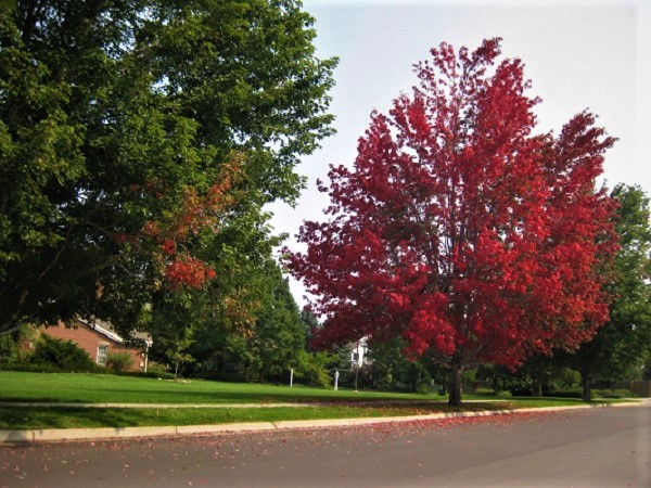 red tree in the fall